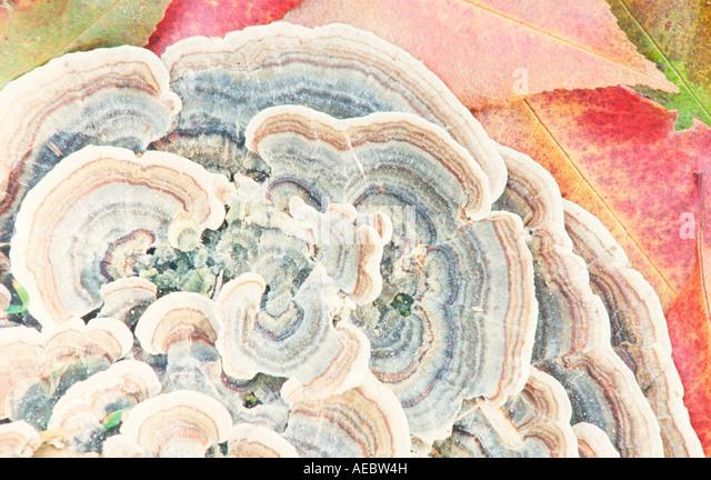 Türkei-Pilz Edgartown MA Stockbild