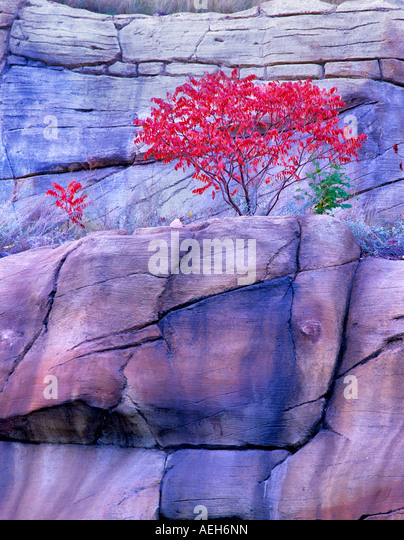 Fallen Sie farbige Sumach Red Rock Secret Mountain Wilderness Arizona Stockbild