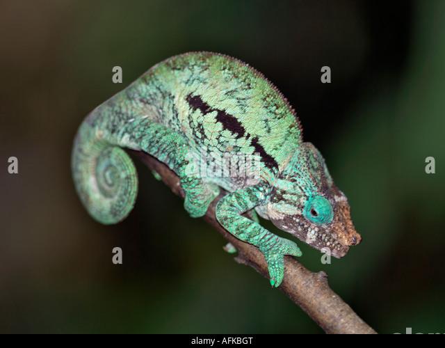 Ein Pantherchamäleon (Furcifer Pardalis) Stockbild