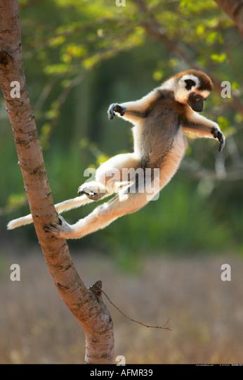 Verreaux s Sifaka Berenty Madagaskar Stockbild