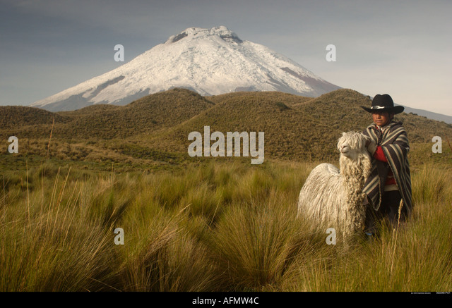 Vulkan Cotopaxi 5897m und langhaarige Alpaca Suri Cotopaxi Nationalpark Anden Ecuador Südamerika Stockbild
