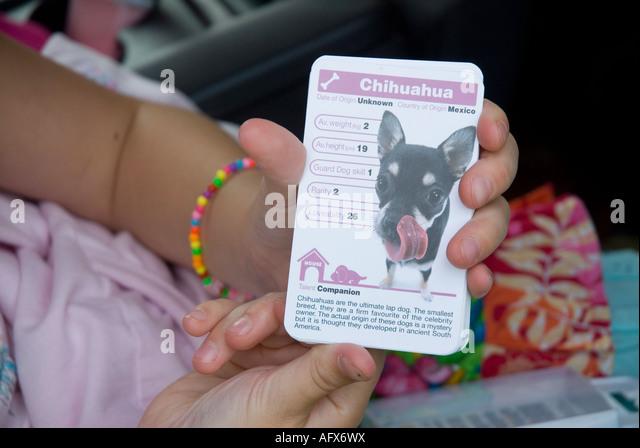 Ein Chihuahua Top Trumpf im Besitz eines jungen Mädchens Stockbild