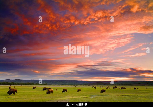 Büffel im Sonnenuntergang Midway Geysir Basin Yellowstone-Nationalpark-Wyoming Stockbild