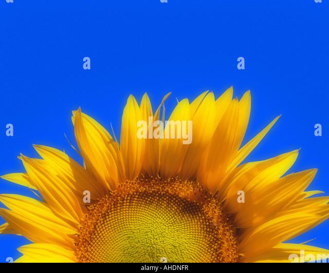 FR - PROVENCE: Sonnenblume (Helianthus lat.) Stockbild