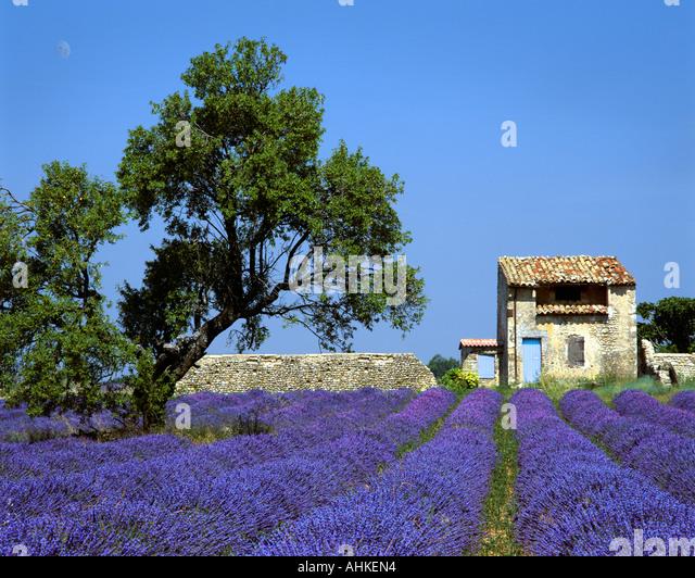 FR - ALPES-DE-HAUTE-PROVENCE: Lavendelfeld auf Plateau de Valensole in der Nähe von Puimoisson Stockbild