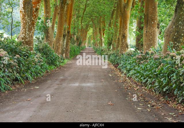 Schmale Landstraße, gesäumt von Bäumen, Sao Miguel Island, die Azoren Stockbild