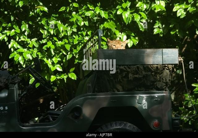 Militärische Haustier Jaguar Panthera Onca Manaus Amazonas Brasilien Stockbild