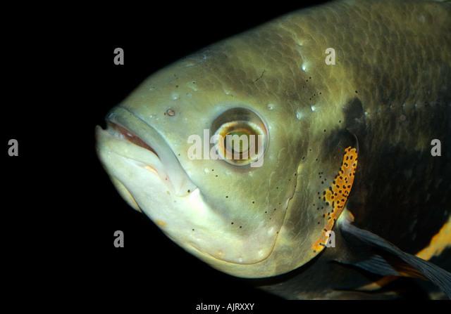 Oscar Astronotus Crassipinnis Kopf Detail Manaus Amazonas Brasilien Stockbild