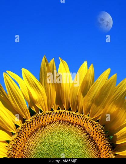 FR - PROVENCE: Sonnenblumen und Mond Stockbild