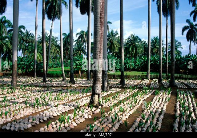 Kuba, Guantanamo, Baracoa, Baumschule Für Palmen Stockbild