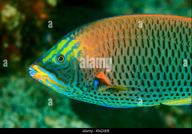 Chiseltooth Lippfisch Pseudodax Mollucanus Nationalpark Komodo Indonesien Stockbild