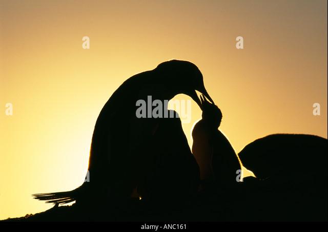 Gentoo Penguin Pygoscelis Papua Erwachsenen mit jungen Silhouette bei Sonnenuntergang auf Petermann Island antarktischen Stockbild