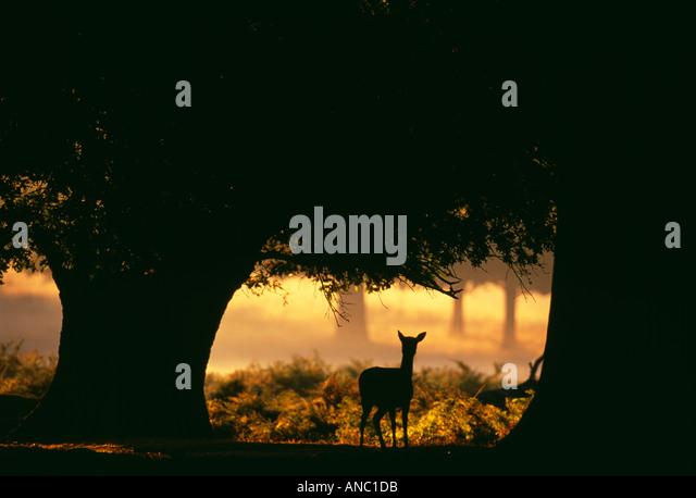 Damhirschen Cervus Dama Doe im Morgengrauen New Forest Hampshire UK Herbst Stockbild