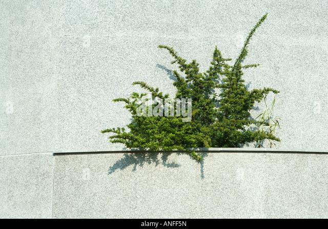 Pflanze wächst in Aufstelzung Stockbild