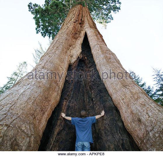 Giant Sequoia Baum. (Sequoia Nationalpark, Kalifornien, USA) Stockbild