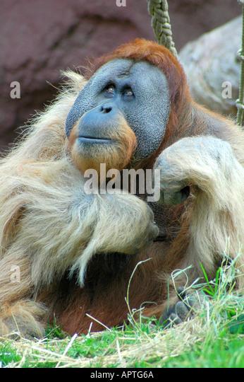 Männlichen Orang-Utan Stockbild