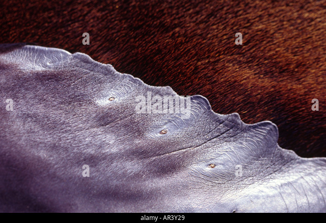 Detail der Seebär Fin, Galapagos-Archipel, James Island hautnah Stockbild