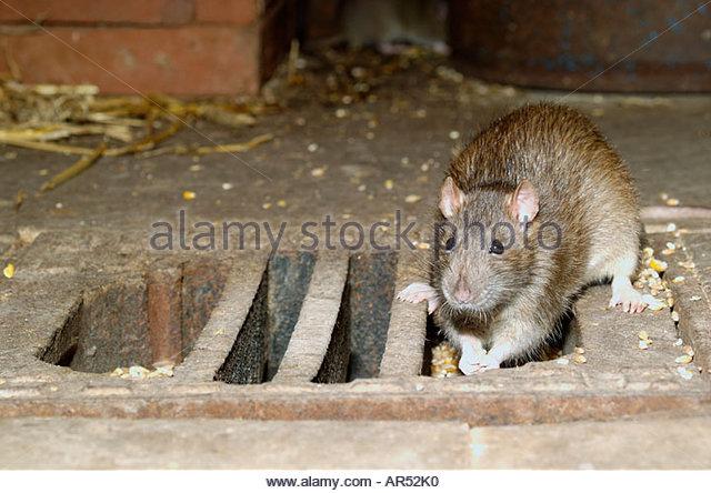 Wanderratte Rattus Norvegicus, gemeinsame Ratte, braune Ratte, Norwegen Ratte Stockbild