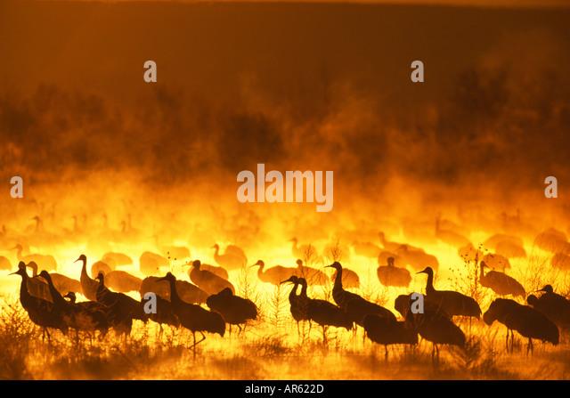 Kraniche Grus Canadensis-Gruppe in der Morgendämmerung am Schlafplatz Teich Bosque Del Apache New Mexico USA Stockbild