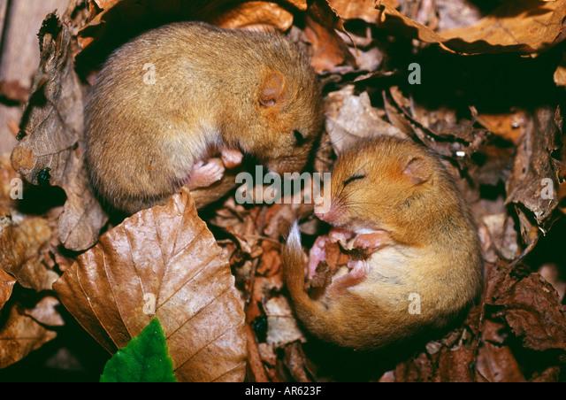 Haselmaus Muscardinus Avellanarius paar schlafend im Nest Kent UK Stockbild