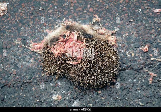 tot gequetscht Igel Roadkill Road Kill Tierwelt Stockbild