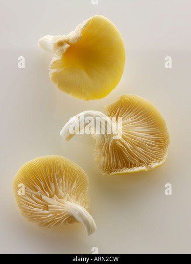 Rohe frische gelbe Austernpilze Stockbild