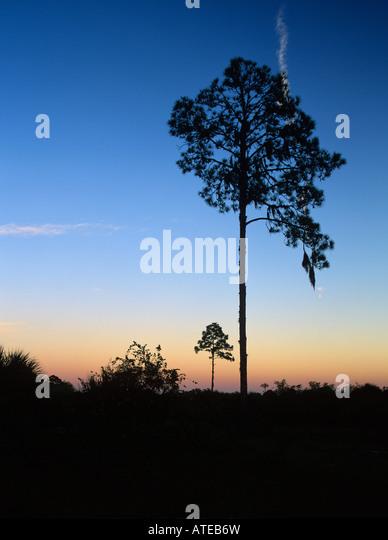 Kiefern im Sonnenuntergang Oscar Scherer State Park Florida Dezember 1998 Stockbild