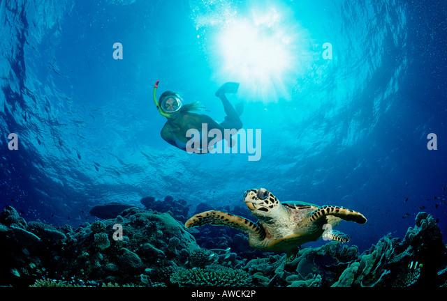 Echte Karettschildkröte und Skin Diver Eretmochelys Imbricata Malediven Indischer Ozean Meemu Atoll Stockbild