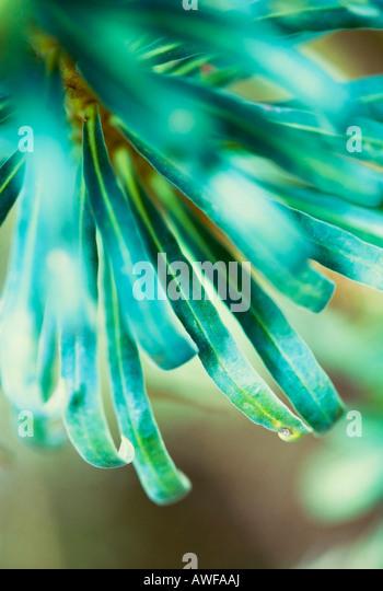 Abstraktes Bild von Euphorbia hautnah Stockbild