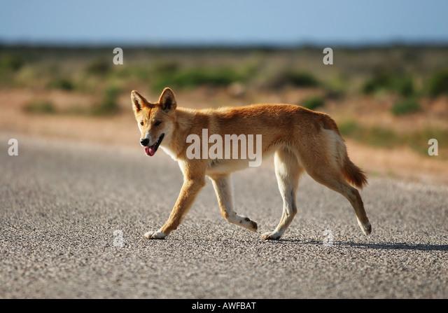 Dingo Stockbild