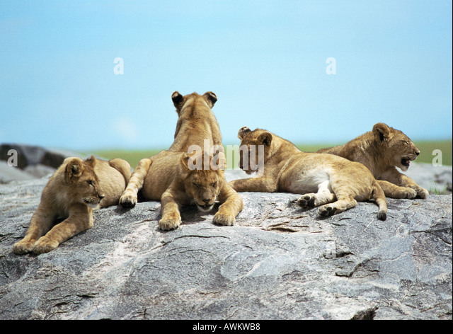 Löwenbabys (Panthera Leo) liegen auf Felsen Stockbild