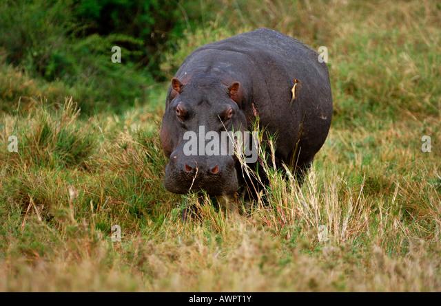 Hipppotamus, (Hippopotamus Amphibius) Masai Mara Kenia Afrika Stockbild