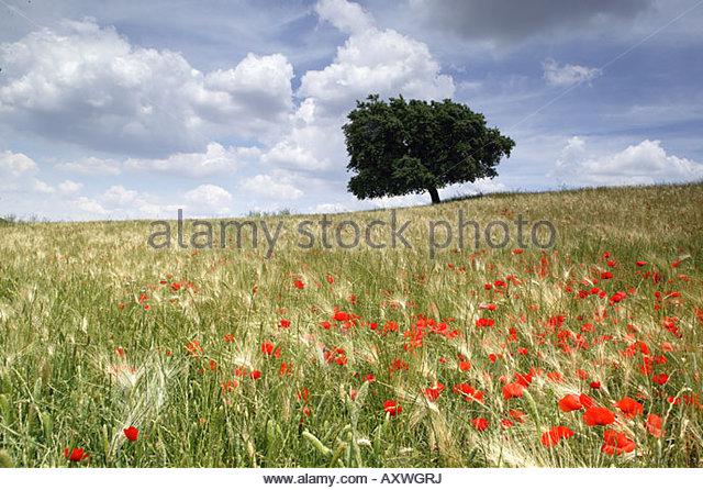 Frühling Mohn und einsamer Baum, Andalusien, Spanien, Europa Stockbild