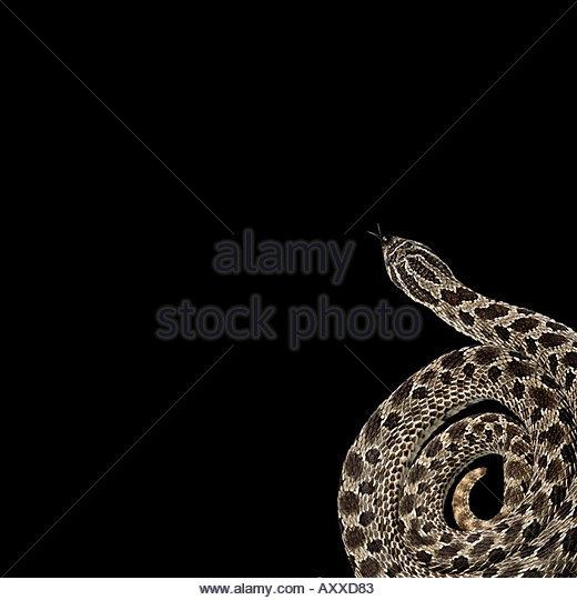 Aufgerollte Schlange Stockbild