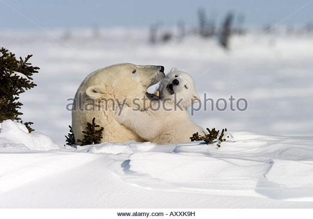 Eisbär mit einer jungen, (Ursus Maritimus), Churchill, Manitoba, Kanada Stockbild