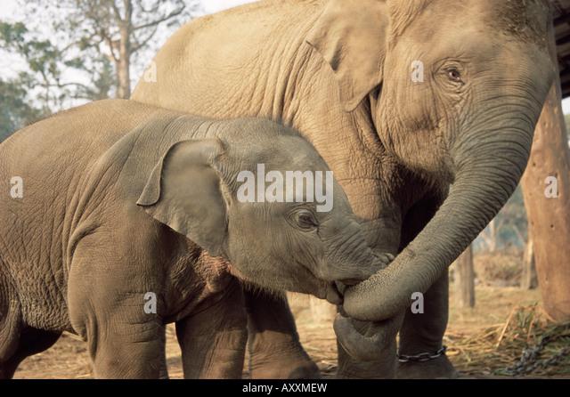 Captive asiatische (Indisch) Elefanten, Indien, Asien Stockbild