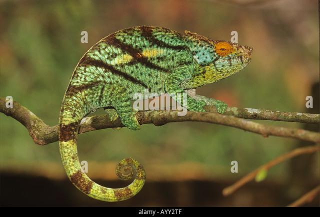 Pantherchamäleon auf Ast (Furcifer pardalis) Stockbild