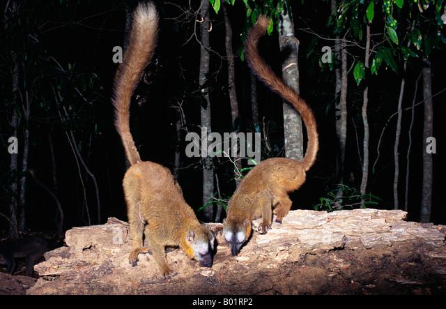 Maki Roux Eulemur Fulvus Rufus brauner LEMUR Madagaskar Sud Afrika African BROWN Eulemur Fulvus Eulemur Fulvus Lemuridae Stockbild