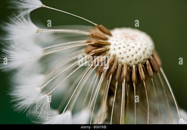 Löwenzahn Samen Kopf mit halben Samen weg geblasen Nahaufnahme Stockbild