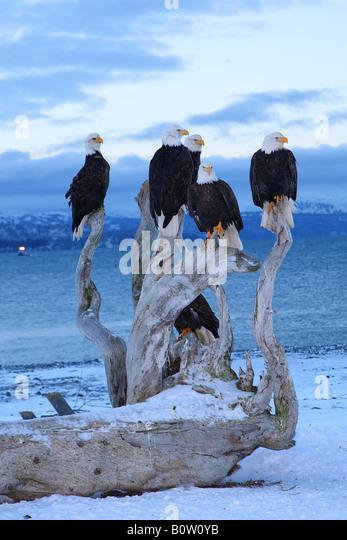 fünf Adler - winter / Haliaeetus Leucocephalus Stockbild