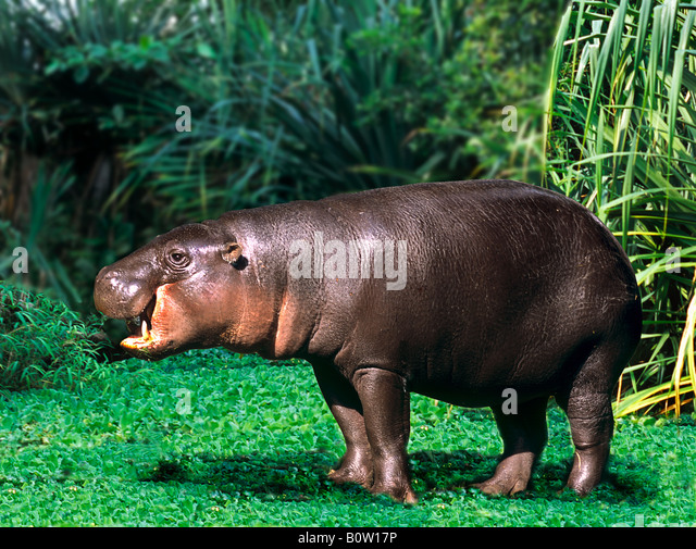 Pygmy Hippopotamus - stehend / Choeropsis Liberiensis Stockbild