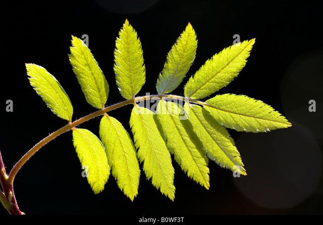 Europäische Rowan verlässt, Eberesche (Sorbus Aucuparia), Frühling Laub, Triebe, Hintergrundbeleuchtung, Stockbild