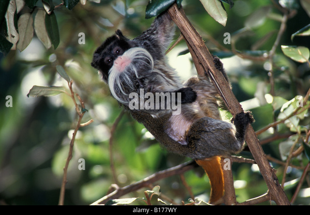 Ouistiti einen Schnurrbart Kaiser Tamarin Saguinus Imperator Tier Freilandforschung arboreal blooded Callitrichidae Stockbild