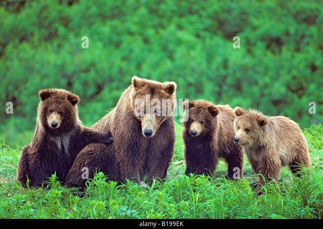 Braunbär-Mutter (Ursus Arctos) mit Triplet jährigen Jungen, Küste Alaska. Stockbild