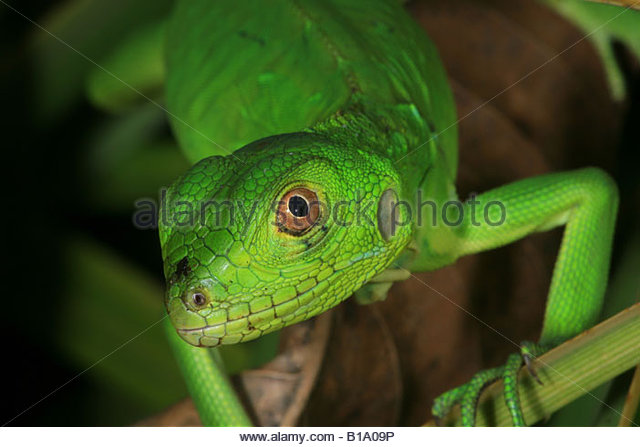 Juvenile Grüner Leguan, Iguana iguana, sci.name; im Regenwald in der Nähe von Penonome, Provinz Cocle, Stockbild