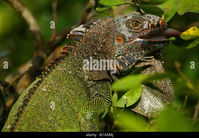 Grüner Leguan, sci.name: Iguana Iguana in Penonome, Cocle Provinz, Republik von Panama. Stockbild