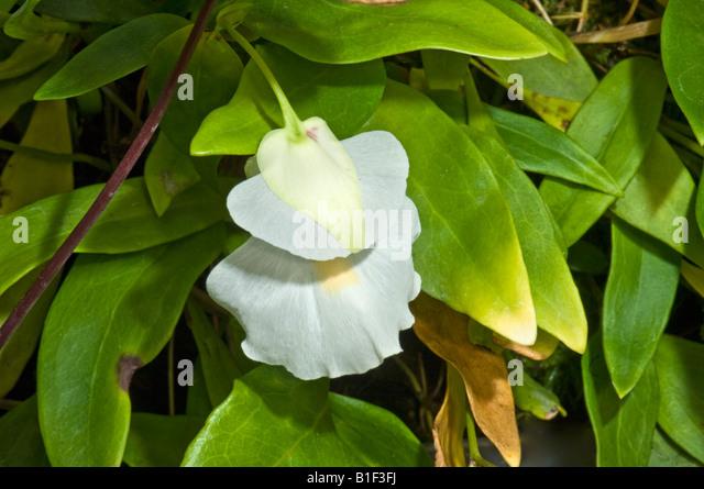 UTRICULARIA Alpina Lentibulariaceae Antillen Antillen epiphytisch mehrjährige fleischfressende Pflanze Feen Stockbild