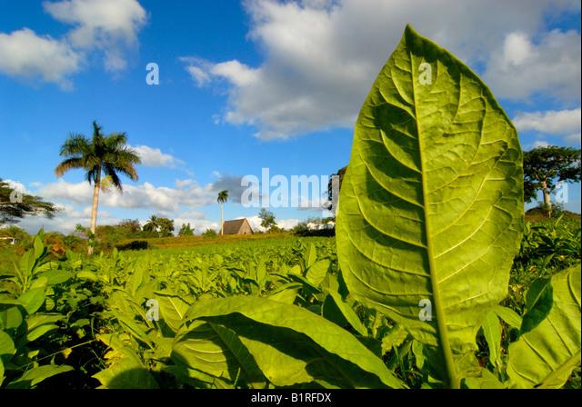 Tabakpflanzen in einem Feld, Palme hinten, Vinales, Pinar Del Rio, Kuba, Mittelamerika Stockbild