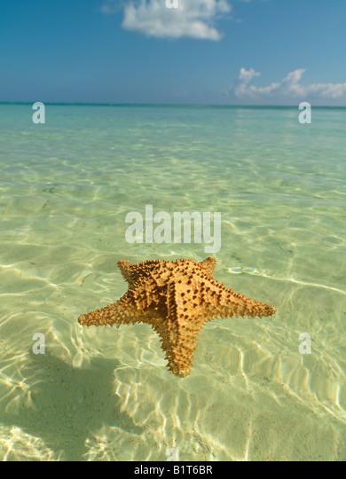 Dominikanische Republik Punta Cana Bavaro Strand, Seestern, schwimmend auf dem ruhigen Wasser mit blauem Himmel Stockbild