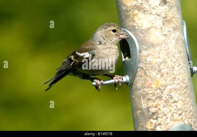 chaffinch bird uk stockfotos chaffinch bird uk bilder seite 13 alamy. Black Bedroom Furniture Sets. Home Design Ideas